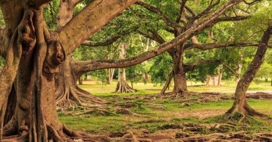 Sri Lanka: Königliche Botanische Gärten, Peradeniya, Kandy