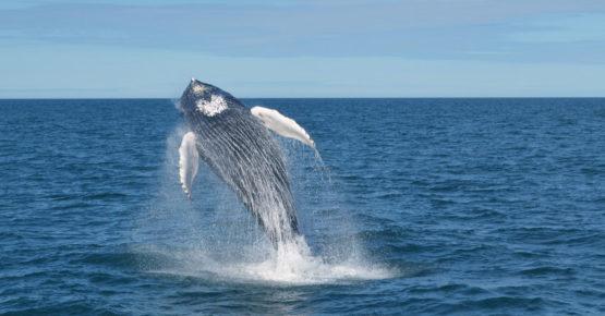 Blauwal springt aus dem Wasser - Wale beobachten