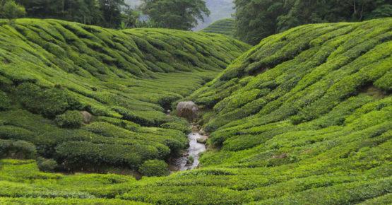 Teeplantage, Camellia Sinensis