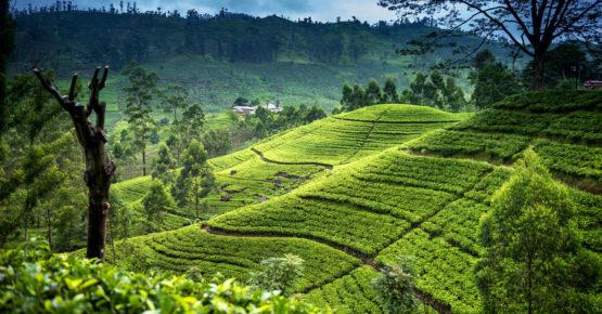 Schöne Teeplantage am Morgen - Nuwara-Eliya
