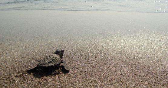 Kleine Schildkröte (Caretta carretta) instiktiv auf dem Rückweg in den Ozean