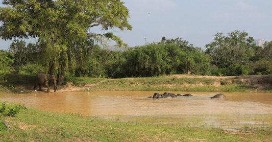 Landschaft mit Elefanten vom Yala Nationalpark in Sri Lanka.