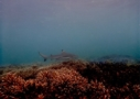 Sri Lanka Tauchen - Haie hautnah beobachten
