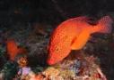 Sri Lanka Tauchen - am Meeresgrund der orangene Fisch